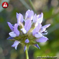 TRÉBOL HEDIONDO - Bituminaria bituminosa - Es una de las plantas leguminosas más conocidas en Andalucía por su gran distribución, desprende un fuerte olor a betún #bituminaria_bituminosa Fauna, Strong, Naturaleza, Plants