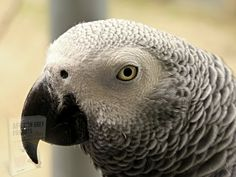 Flock Of Birds, Pet Birds, Primates, Mammals, Animal Cognition, Dallas Zoo, Cognitive Behavior, How To Prevent Cavities, African Grey Parrot