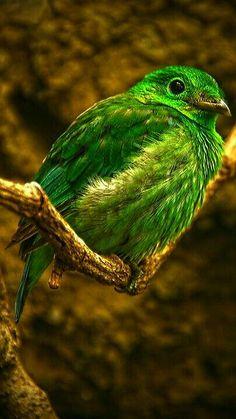 ミドリヒロハシ Green Broadbill, Lesser green broadbill (Calyptomena viridis)