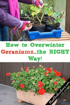 But today we'll show you how to overwinter geraniums the RIGHT way, no matter how cold your winters get. That's right - you no longer have to throw out your beloved geraniums. Geranium Planters, Geraniums Garden, Garden Plants, Herb Garden, Overwintering Geraniums, Growing Geraniums, Container Flowers, Container Plants, Container Gardening