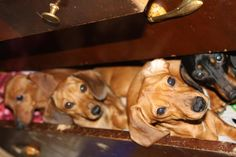 dachshunds in a drawer