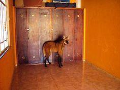Lobo Guará aparece dentro de casa em Itamonte