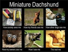 Miniature Dachshund. How they see themselves- truth!