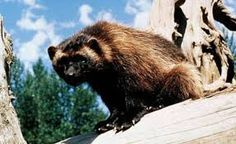 Carcaju , mustelídeo , é destemido . Enfrentando animais muito maiores . É o maior animal das familia das doninhas , como a lontra .