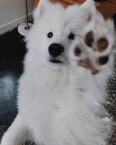 Cute samoyed dogs. Samoyed dogs full grown so cute. Samoyed funny faces.