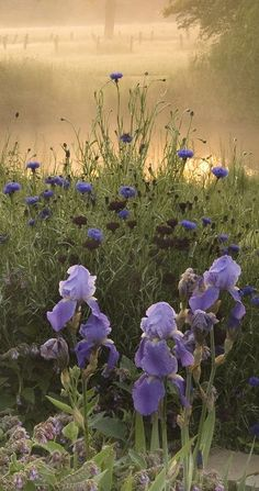 """the-hanging-garden: """"Irises in the Narborough Hall Gardens, Norfolk, England (photo © David Hennessy) """""""