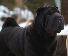 Shar-pei....regal, affectionate, clever and just damn gorgeous