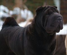 Black Shar Pei Dog