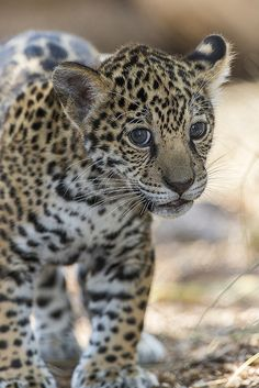 Jaguar cub by San Diego Zoo❤️