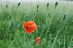 Poppies - Matted Print of Original Photograph - 8x10in.
