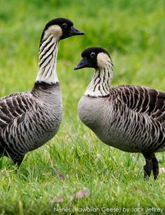 The Nēnē, Branta sandvicensis, is a species of goose endemic to the Hawaiian Islands. The official bird of the state of Hawaiʻi, the Nene is exclusively found in the wild on the islands of Maui, Kauaʻi and Hawaiʻi. Pretty Birds, Beautiful Birds, Animals Beautiful, Cute Animals, Birds 2, Wild Birds, Love Birds, All Gods Creatures, Hawaiian Islands