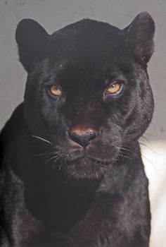 Black Panther up close Animals And Pets, Baby Animals, Cute Animals, Wild Animals, Beautiful Creatures, Animals Beautiful, Mode Poster, Photo Wall Collage, Big Cats