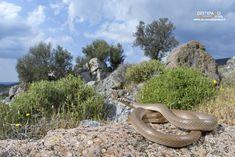 https://flic.kr/p/26owvqi | Dwarf snake | Colubro nano (Eirenis modestus), Dwarf snake   Lesbo, Greece