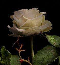 white rose, cold porcelain, handmade...