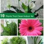 Plants that Purify Clean Indoor Air