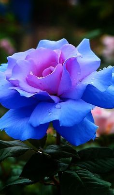 Glowing Blue Rose Beautiful gorgeous pretty flowers