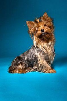 Hembritas Yorkshire Terrier Mini - 12 Cuotas!!!! - $695.87