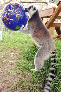 """Honeybear the ring-tailed lemur enjoys a """"Honey Ball"""" covered in dried fruit and nuts at Back To Nature Wildlife Refuge."""