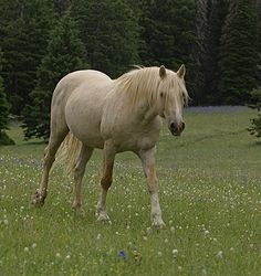Cloud, the wild stallion, called white but appears to be isabella palomino