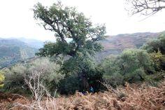 Sicilia - Quercus pubescens Willd. - Sicilia - S. Lucia del Mela (Messina) - Vallone Ghiacciari - 5-12-15 - Davide Miroddi (43)