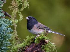 Oregon Dark-Eyed Junco Art Print by Keith Boone. All prints are professionally printed, packaged, and shipped within 3 - 4 business days. Thing 1, Cool Backgrounds, Dark Eyes, Natural World, All Art, Art Images, Fine Art America, Original Artwork, Oregon