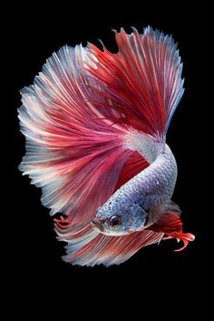 One of the most beautiful of Betta Fish. Informations About Halfmoon Betta Fish Pin You can easily u Pretty Fish, Beautiful Fish, Beautiful Sea Creatures, Animals Beautiful, Colorful Fish, Tropical Fish, Colorful Animals, Poisson Combatant, Betta Fish Types