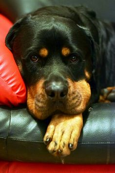 64 Best Rottweiler Images Dog Cat Fluffy Animals Beautiful Dogs