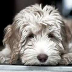 Beautiful labradoodle puppy----Love these dogs. Labradoodle Breeders, Australian Labradoodle, Goldendoodles, Labradoodles, Cockapoo, Labradoodle Haircuts, White Labradoodle, Cute Puppies, Cute Dogs