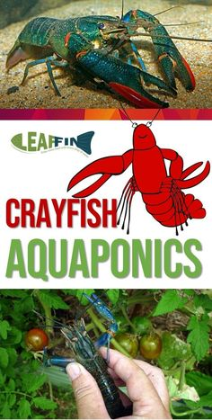 Although crayfish can cheaply and easily be grown in an aquarium, there are several limitations to raise them in an aquaponics system. An aquaponics system designed for cultivating fish is unsuitable for the freshwater crayfish. Aquaponics Greenhouse, Aquaponics Fish, Fish Farming, Aquaponics System, Hydroponic Gardening, Organic Gardening, Indoor Aquaponics, Hydroponic Systems, Shrimp Farming