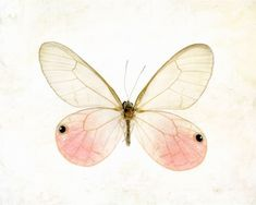 Pink pastel insect botanical specimen easter dreamy macro closeup spring minimal - Glasswing Butterfly 8 x 10. $20.00, via Etsy.