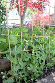 Brilliant DIY Pea Trellis Ideas & Designs For Your Garden Woven Bamboo Trellis Cheap Trellis, Arch Trellis, Bamboo Trellis, Diy Trellis, Garden Trellis, Trellis Ideas, Privacy Trellis, Obelisk Trellis, Metal Trellis