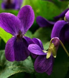 Colorful Flowers, Purple Flowers, Wild Flowers, Beautiful Flowers, Sweet Violets, Gras, Green And Purple, Dark Purple, Lily Of The Valley