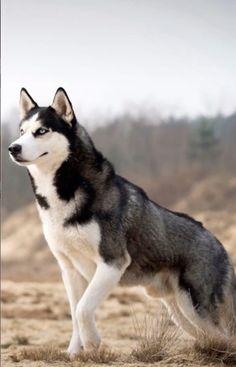 Beautiful Dogs, Animals Beautiful, Cute Animals, Siberian Husky Dog, Husky Puppy, Puppy Eyes, Alaskan Husky, Husky Mix, Alaskan Malamute