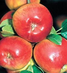Jabloň letná ´PRIMA´ podp. MM106