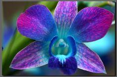 #cor #inspiração orquidea azul e roxa