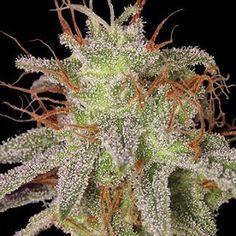 Marijuana Daily