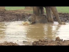 Happy little baby elephant, Navann, is having a fun time playing in the mud pit…