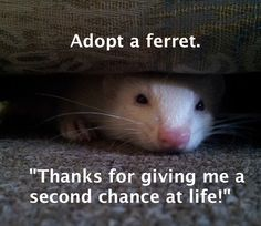 Adopt a ferret. Save a life. http://www.ferret-world.com/Adopt-a-ferret.html
