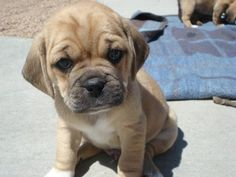 Puggles.  This one reminds me of what Titan (my puggle) looked like when he was a baby