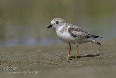 Snowy Plover by jnsconstable. Please Like http://fb.me/go4photos and Follow…