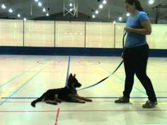 """Task: """"Down"""" Here: Service dog in training Emmy, 4 month old German Shepherd from Team Huerta Hof, practicing the basic obedience skill of """"down"""" without a lure. Our smart girl is mastering her basics so fast!!"""