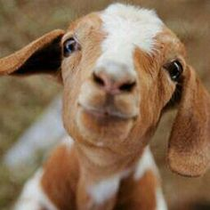 """In the U.S., the five most popular purebred goats are Toggenburg, French Alpine, Saanen, La Mancha, and Nubian. (The last two give slightly less milk than do their three """"cousins,"""" but  their product is high in butterfat.)  Grade (crossbread) goats are cheaper to get and may even produce more milk than most pure breads, but their kids sell a lot cheaper so it's usually best to spend the extra money for a pure bread and pay yourself back in selling their offspring."""