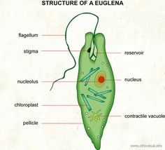 Since Euglena is a eukaryotic unicellular organism, it contains the major organelles found in more complex life. This protist is both an autotroph, meaning it can carry out photosynthesis and make. Cell Biology, Science Biology, Teaching Biology, Science Diagrams, Structure And Function, Mitosis, Life Form, Photosynthesis, Microbiology