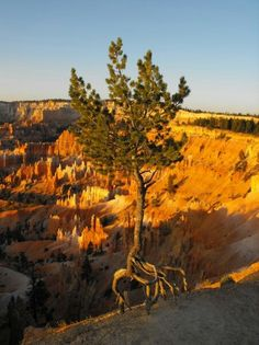 Bryce canyon national park, Connie's tree