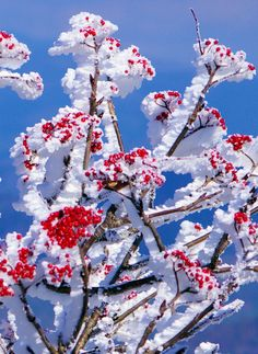Snow and rime ice coat the red berries of mountain ash along the Blue Ridge Parkway near Asheville NC