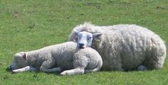 He makes me lie down in green pastures.  Psalm 23:2a Sheep will lie down when they are: free from fear free from friction (within the flock) free of pests (flies, parasites, etc.) free from hunger …