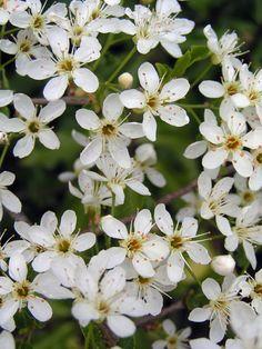 Fleurs d'épine - ©www.image-gratuite.com