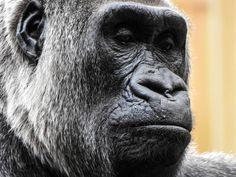 #Somber faced Western Lowland #Gorilla #Nikon #P900 @nikonusa  #NikonP900  Camera Used: Nikon COOLPIX P900 Digital Camera with 83x 2000mm Optical Zoom . Check it out on Amazon at http://amzn.to/1NXLwLg  Photo processed with #Adobe #Lightroom . Check it out on Amazon at http://amzn.to/1NHUI4x