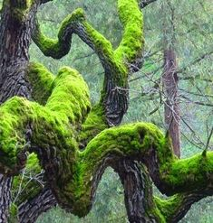 Twisted Tree and moss Mother Earth, Mother Nature, Beautiful World, Beautiful Places, Beautiful Pictures, Foto Nature, Twisted Tree, Old Trees, Tree Branches