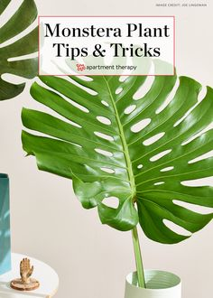 Monstera Deliciosa Plant - Growing Care and Propagation | Apartment Therapy